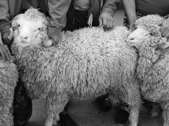 Половые отношения секс с козами и овцами
